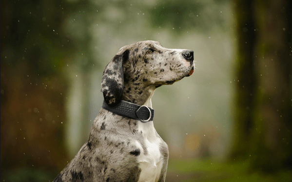 Angel Santa Fe Argentinean leather dog collar