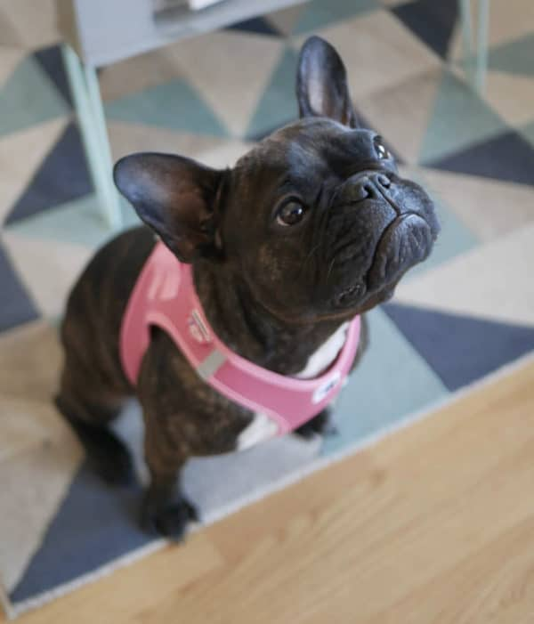 Curli Comfort vest harness pink, cooling in summer.